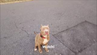 Rex!  5 Month Old American Bully