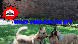 Carolina Dog Madness