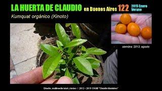 Cultivo del kumquat orgánico - Kinotos orgánicos - Verano 2015