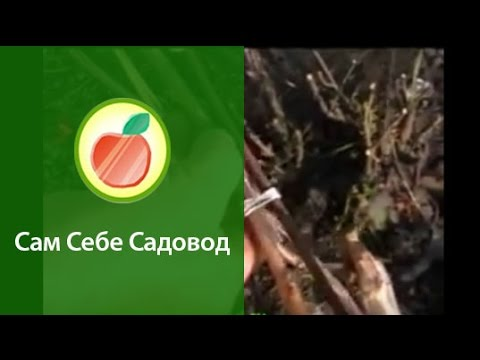 Три способа подвязки винограда
