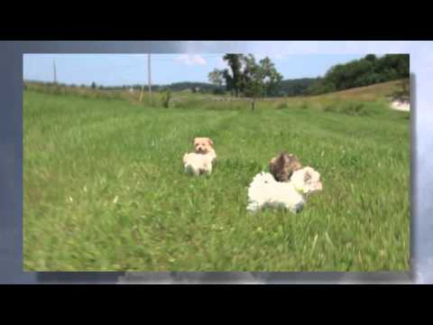Maltipoo morkie Puppies | Beauty-blaze-foxy-polar-sasha video