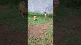 Main sama anjing chiko