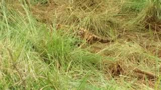The final moment of Machli (T-16) The World's Most Photographed Tigress in Ranthambore