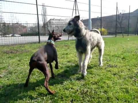 Dobermann vs Irish wolfhound - YouTube