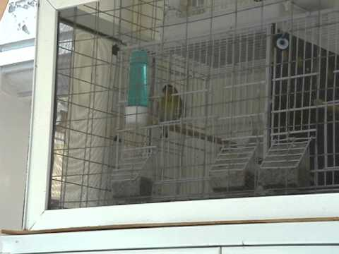Lougaro-Λούγαρο-Siskin ~ Carduelis Spinus ~ Music Videos