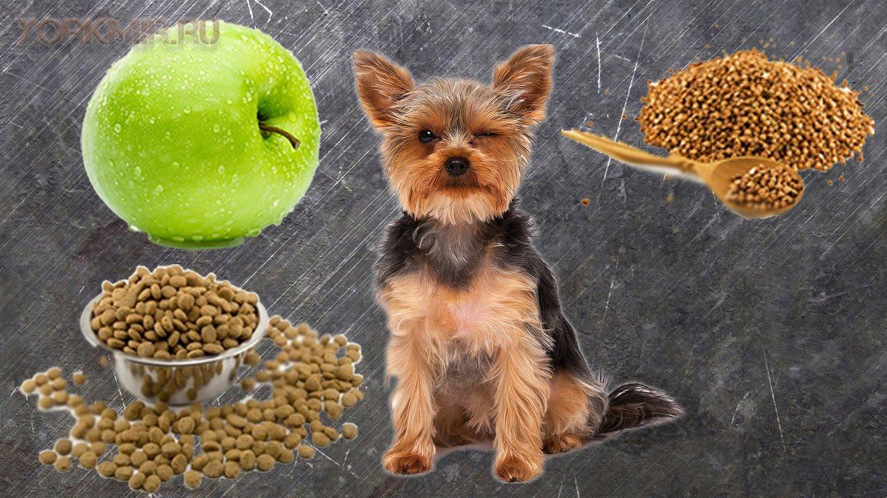 Йоркширский терьер: чем кормить йорка, какое питание выбрать для собаки
