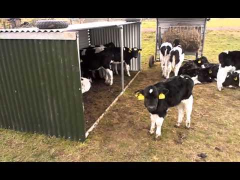 Calf Shelter Youtube
