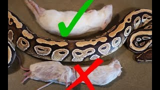 What Size Rodent Should you Feed your Snake?