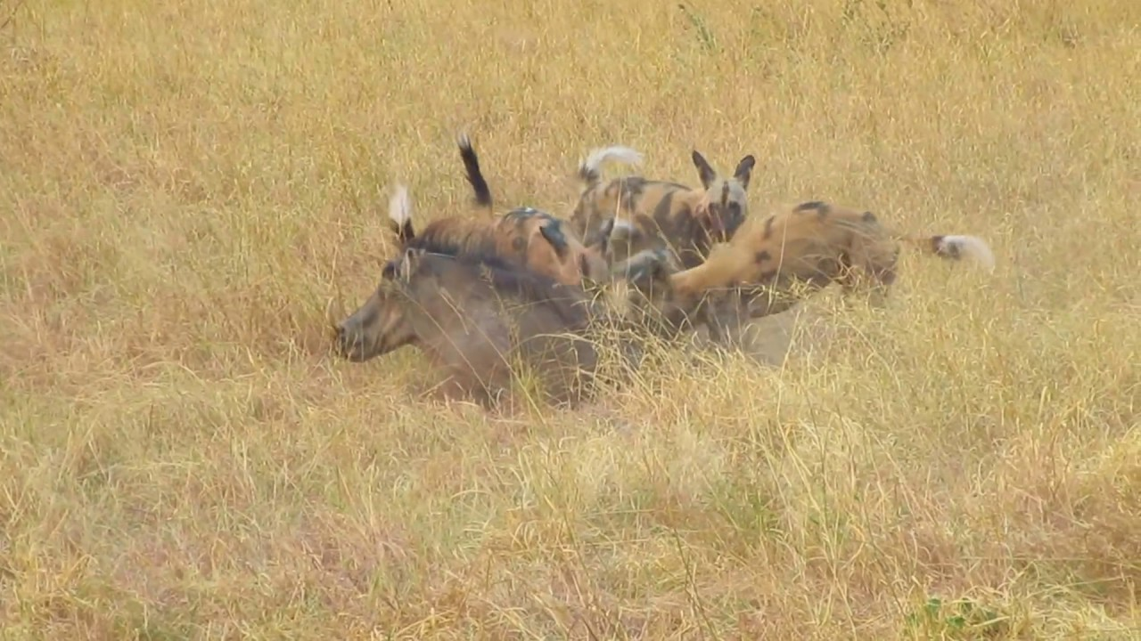 Livestock and predation identification page  ICWDM Home Page