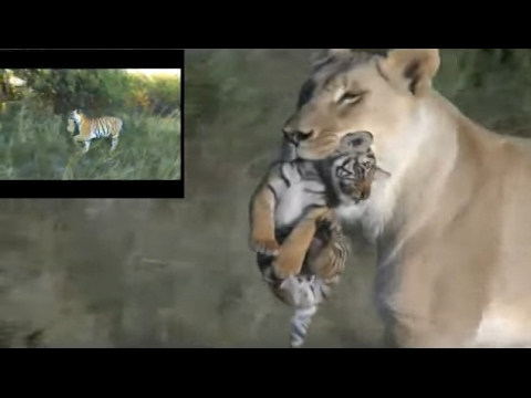 Lion and tiger communication, lioness helps tigress to raise cubs
