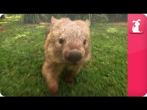 Bindi & Robert Irwin feature - Wombat (Kato)- Growing Up Wild.