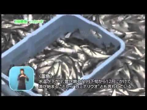 秋田美魚 ハタハタ