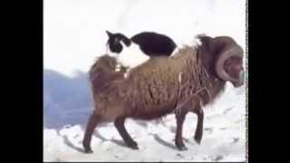 خروف يحمل قط على ظهره - Cat carried by a Cheep