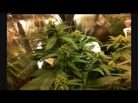 Grow weed Big Devil auto-flowering weed/marijuana/marihuana - time lapse-week9-Flowering.wmv