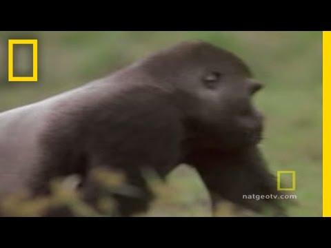 Gorilla vs. Gorilla
