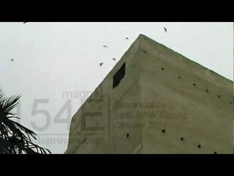 154e External Swiftlet Sound video