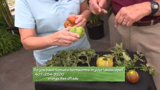 Central Florida Gardening-2 Min Pests - Tomato Hornworm