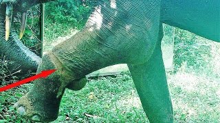 (4.27 MB) An elephant injured by a poacher's snare recovers after self treatment    Braconnage Mp3