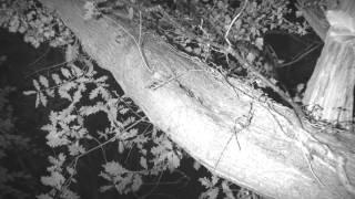 Brown Long-eared tree roost