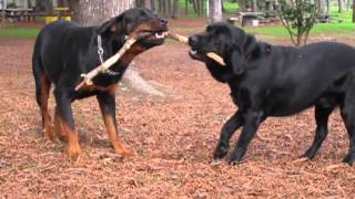 Rottweiler VS Labrador (parte 4)