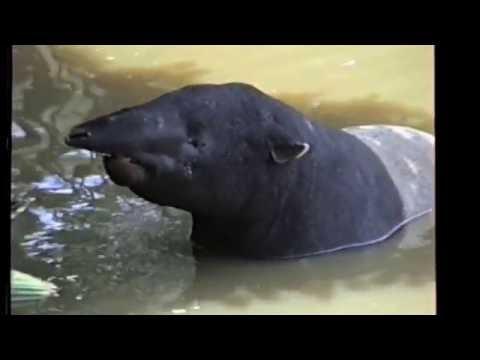 Anta da Malásia, Anta bicolor, Tapir-da-malásia, tapir-asiático, anta-malaia, Tapirus Indicus,