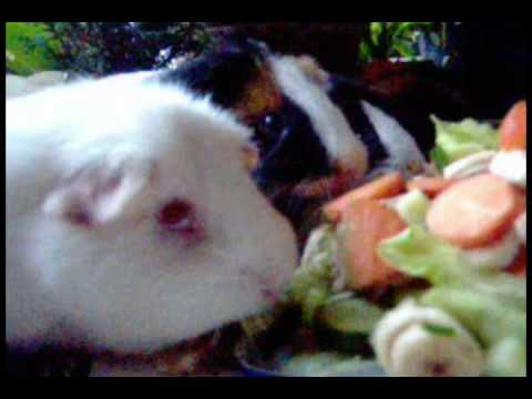 A Guinea-pig's Birthday Party
