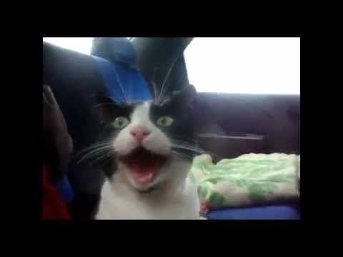 Midget cat video love