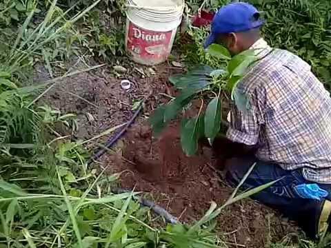siembra de arbol de aguacate