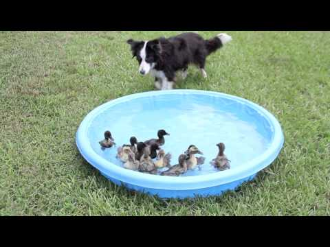 Solo the border collie herds 2 week old ducks in baby pool.