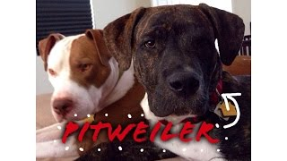 Pitweiler life from 2 to 6 months