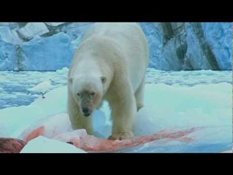 Polar Bears have seal for lunch