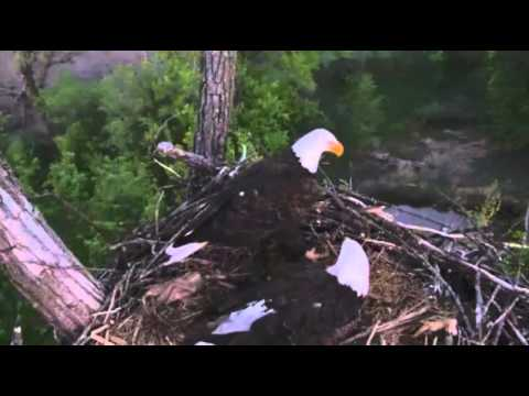 Eagles4kids,clips of Lucy & Larry both on nest,thank you cam operator great work,5/20/13