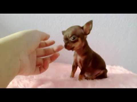Quot Milo Quot Chocolate Tan Teacup Chihuahua Puppy Youtube