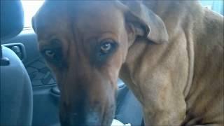 Guilty Dog Rhodesian Ridgeback