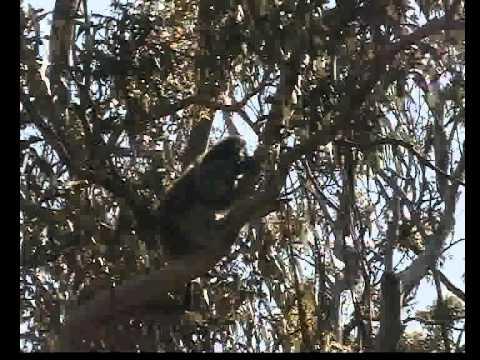coala con cucciolo – AUSTRALIA