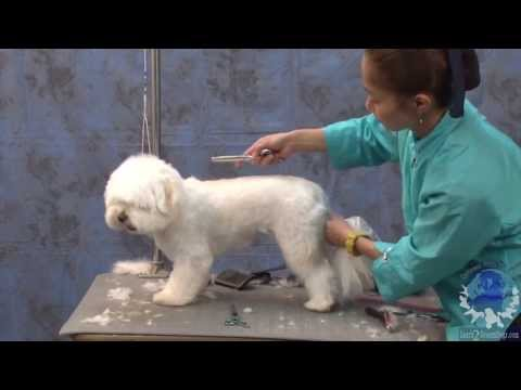 Grooming a Havanese in a Popular & Cute Pet Trim