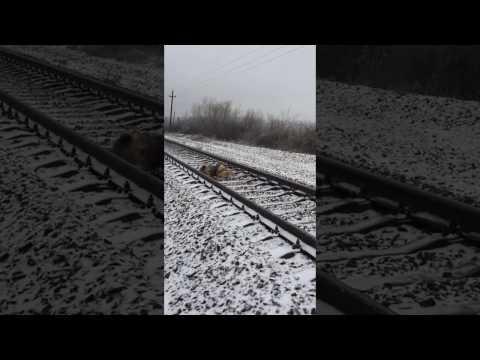В Закарпатье пес два дня прикрывал телом раненую подругу на рельсах