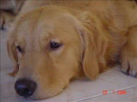 Golden Retriever with Music
