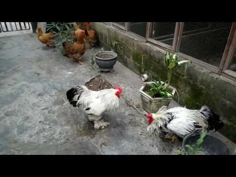 Biggest chicken in the world