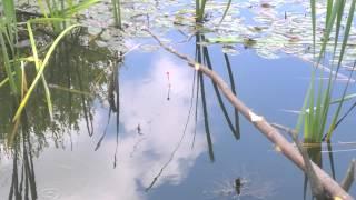 Зарыбок для пруда