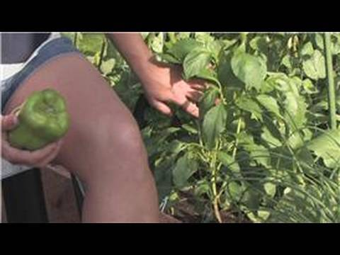 Growing Edible Plants : How to Grow Bell Pepper Plants