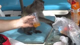 наглая обезьяна алкоголик