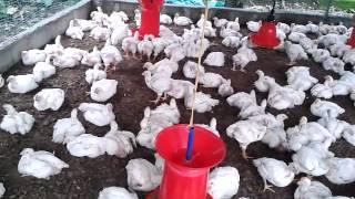 Broiler poultry farming - ABHIJITH KADAYATH