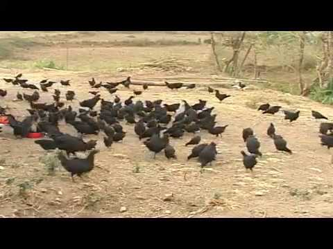 Poultry Breeds KADAKNATH ( Karinkozhi )