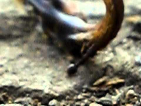 Муравей против мертвого слизня  :) Ant vs. a dead slug:)