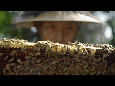 Honey-trapping Bears - Wild Japan - BBC