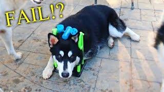 Dog IQ Test! My Husky Intelligence Test!