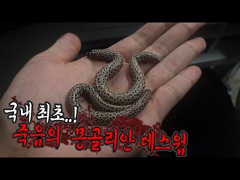국내최초 전설의 회충도마뱀 가격듣고 깜짝놀랍니다 마리당00만원!