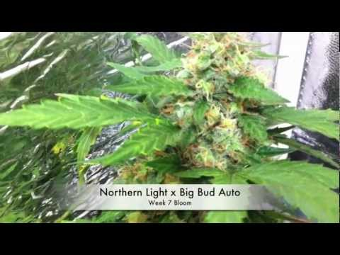 Autoflower Marijuana under LEDs (3 Autoflower Cannabis. under LED grow lights)