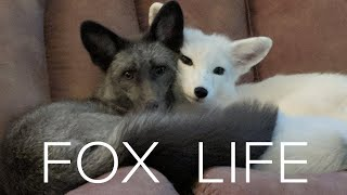 So you want a pet FOX? See what it's REALLY like & how to raise domesticated pet foxes.